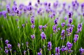 picture of lavender field  - Lavender flowers - JPG