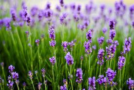 picture of lavender field  - Lavender flowers - JPG