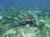 Sea Turtle In Tropical Seashore, Underwater Photo Of Marine Wildlife. Sea Turtle On Sea Bottom. Mari poster