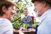 A Senior Couple With Small Grandson Picking Apples In Orchard. poster