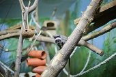 Imperial Tamarin On A Branch In The Zoo poster