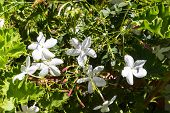 Rich Bush Of The Jasmine In The Garden With Many Scented White Blooms. Traditional Village Archanes  poster