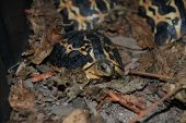 image of baby spider  - Madagascar Spider Tortoise baby a very rare chelonian that is considered an endangered animal due to exportation - JPG