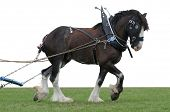 foto of clydesdale  - Clydesdale in Harness with Clipping Path - JPG
