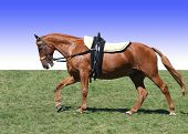 stock photo of saddle-horse  - Chestnut stunt horse with vaulting saddle - JPG
