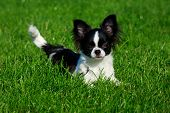 Dog Breed Chihuahua On A Background Of Green Grass poster