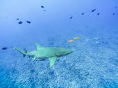 Sharks Swimming In Bora Bora Island In French Polynesia During Snorkeling On This Island Paradise An poster