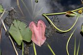 Green And Red Heart Shaped Lily Pads In Florida Swamp poster
