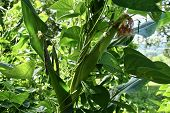 Beans Companion Planted And Growing Up Corn Plants In A Garden poster