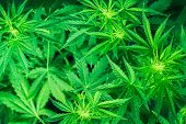 Marihuana Plants Close Up. Green Background. Growing Indoor Cultivation. Planting Weed. Top View. Me poster