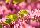 image of judas tree  - Judas Tree Flower And Leaves