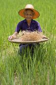 Постер, плакат: Старые азиатских женщин просеивает риса на поля риса