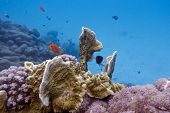 foto of fire coral  - coral reef with fire coral and exotic fishes anthias - JPG