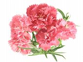 stock photo of carnations  - posy of carnations isolated on white background - JPG