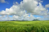 pic of mauritius  - Sugarcane plantation on tropical island of Mauritius - JPG