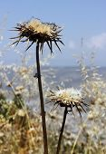 foto of defloration  - deflorate thistle flower as a symbol of bad environment - JPG