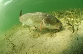 image of redfish  - redfish fish swimming in ocean off of the florida coast - JPG