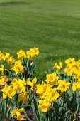 stock photo of garden eden  - Spring landscape with yellow narcissus flowers meadow and green grass in park - JPG