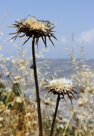 picture of defloration  - deflorate thistle flower as a symbol of bad environment - JPG
