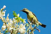 stock photo of moringa  - A Female Beautiful Sunbird  - JPG