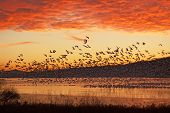 stock photo of snow goose  - A flock of Snow Geese fly from a partly frozen lake at sunrise - JPG