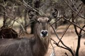 picture of bosveld  - Alert Waterbuck Listening Carefully to Every Sound Vector - JPG