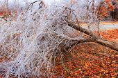 stock photo of fallen  - A fallen tree after an ice storm - JPG