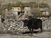 pic of cattle breeding  - Old bull - JPG