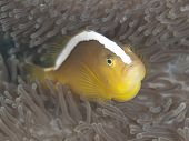 stock photo of skunk  - Orange skunk clownfish in Bohol sea Phlippines Islands - JPG