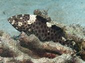 stock photo of grouper  - Highfin grouper in Bohol sea Phlippines Islands - JPG