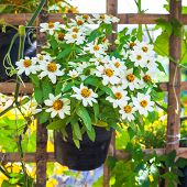 image of zinnias  - Beautiful white Narrowleaf Zinnia or Classic Zinnia flowers on background with sunshine - JPG