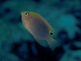 stock photo of damselfish  - Speckled damselfish in Bohol sea Phlippines Islands - JPG