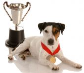 Jack Russell Terrier  Wearing Medal And Trophy