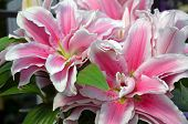 stock photo of stargazer-lilies  - Beautiful pink stargazer lily flowers in full bloom