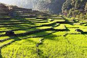 stock photo of nepali  - beautiful terraced green field of rice in nepal - JPG