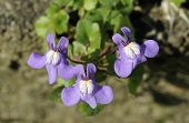 foto of ivy  - Ivy Leaved Toadflax - Cymbalaria muralis Three flowers - JPG