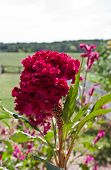 image of celosia  - closeup of Celosia bloom in outdoor garden - JPG