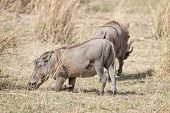 Постер, плакат: Central African Warthogs