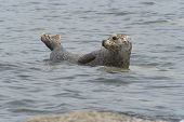 stock photo of bute  - Common seal basking off the coast of Bute - JPG