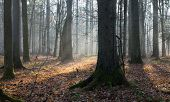 pic of alder-tree  - Autumnal morning in the forest with mist and alder trees - JPG