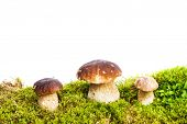 stock photo of boletus edulis  - Three mushrooms Boletus edulis  - JPG