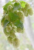 stock photo of bine  - Ripe green hop cones with leafs taken closeup - JPG
