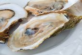 foto of oyster shell  - Raw oysters on the half shell - JPG