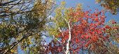 pic of oblong  - Birch trees in fall colors oblong - JPG