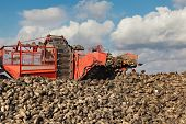 picture of sugar industry  - Agriculture autumn time sugar beet root harvesting in field - JPG