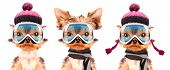 picture of dog clothes  - dog  dressed as skier isolated on a white background - JPG