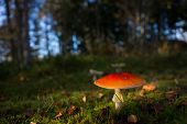 stock photo of agar  - red fly agaric mushroom in scancdinavian forest - JPG