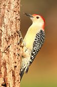 foto of woodpecker  - Male Red-bellied Woodpecker (Melanerpes carolinus) on a tree trunk ** Note: Soft Focus at 100%, best at smaller sizes - JPG