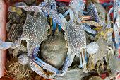 picture of blue crab  - Raw blue crab in the orange basket - JPG