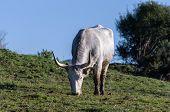 image of prairie  - Cows of Maremmana race while grazing over a green prairie - JPG